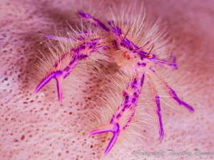 Squat lobster by Timothy Nguyen 